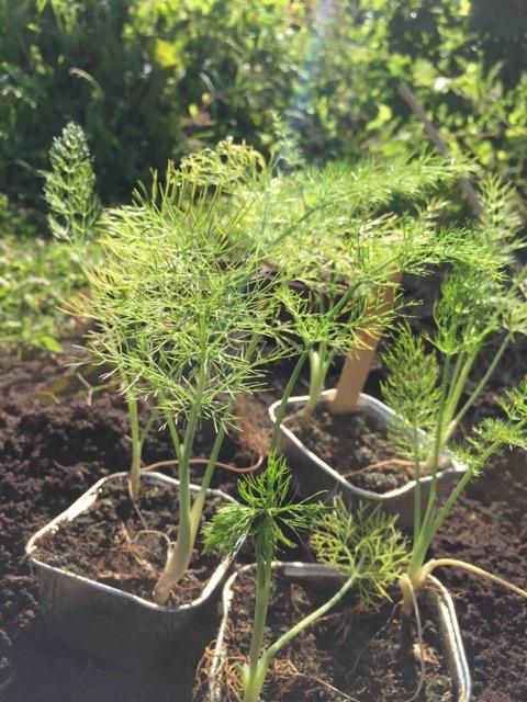 Saedskifte - mangfoldighedsbed fennikel
