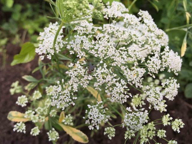 Saedskifte - mangfoldighedsbed skaermplante