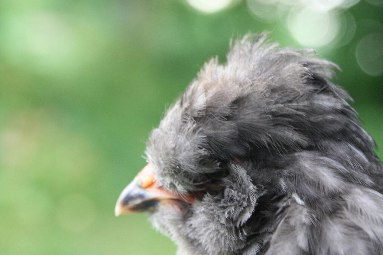 Engelsk araucana close up