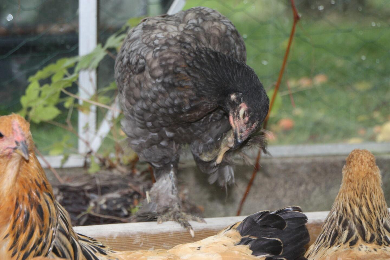 Høne med lopper eller lus