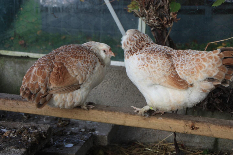 høne der hænger med halen